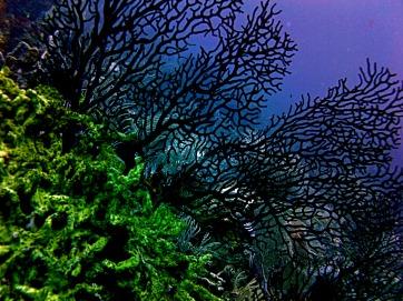 black-corals