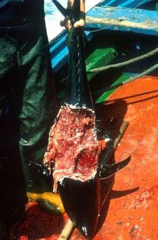 bluefinsharkattack